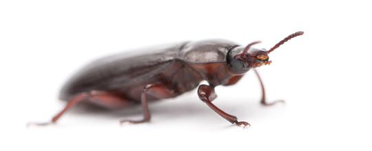 indukan semut jepang