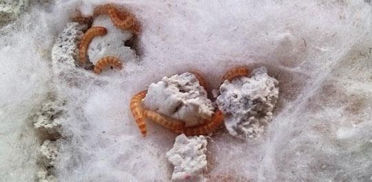 cara budidaya semut jepang - larva