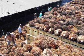 ekspor kelapa sawit