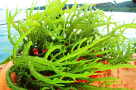 rumput-laut